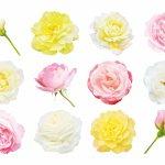 バラの花束。本数や色で意味が変わるって知ってました?