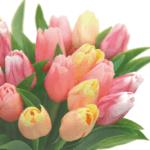 チューリップの花言葉。色と本数別にまとめました。