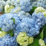 6月の季節のお花を早々と入荷しております。