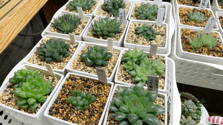 多肉植物のハオルチアの販売