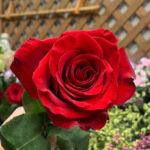 バラ1本・バラ1輪の値段はいくら?お花屋さんが教えます!